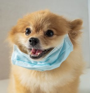 Pomeranian wearing a face mask